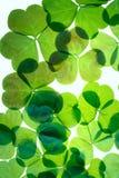 Tréboles del día de St.Patricks Imágenes de archivo libres de regalías