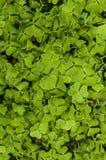 Tréboles verdes del fondo Fotos de archivo libres de regalías