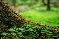 Tréboles verdes en el bosque foto de archivo libre de regalías