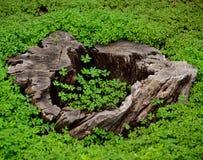 Tréboles y tronco seco Fotos de archivo