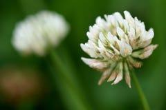 Tréfle blanc (repens de trifolium) Images stock