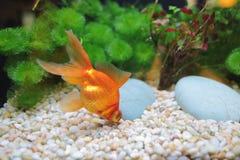 Trésors de poisson rouge Image stock