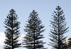 Três árvores de pinho imagens de stock royalty free
