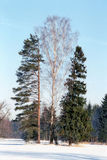 Três árvores do inverno Fotografia de Stock