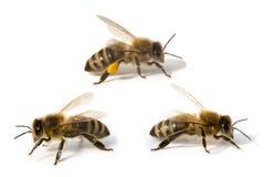 Três abelhas na frente do fundo branco Foto de Stock