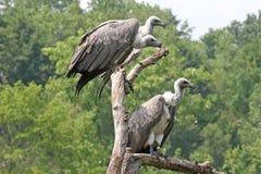 Três abutres Fotos de Stock Royalty Free