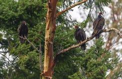 Três abutres de peru Imagem de Stock Royalty Free