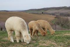 Três alpacas Imagens de Stock Royalty Free