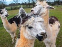Três alpacas Fotografia de Stock Royalty Free