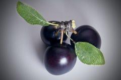 Três ameixas de cereja preta Fotografia de Stock