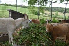 Três amigos da cabra que compartilham de uma barra de salada da grama em uma exploração agrícola em Wisconsin rural no verão fotos de stock royalty free