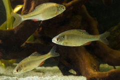 Três Amur Bitterling, sericeus de Rhodeus, peixe de água fresca Imagens de Stock