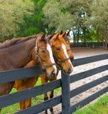Três animais de um ano equinos em uma cerca Imagens de Stock