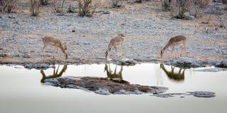 Três antílopes sedentos em um waterhole Imagem de Stock