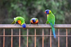 Três arco-íris Lorikeets Fotografia de Stock Royalty Free