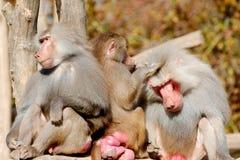 Três babuínos de Hamadryas Imagem de Stock
