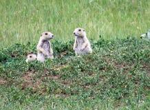Três bebês do cão de pradaria no campo Imagens de Stock