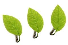 Três bonitos pouco folhas verdes. Fotos de Stock