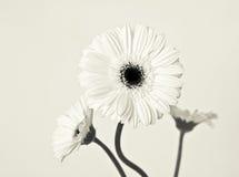 Três branco Gerberas Foto de Stock Royalty Free