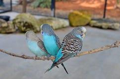 Três Budgerigars azuis fotografia de stock royalty free