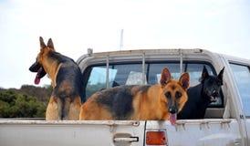 Três cães Fotografia de Stock