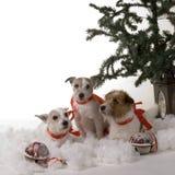 Três cães Fotos de Stock