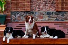 Três cães border collie foto de stock royalty free