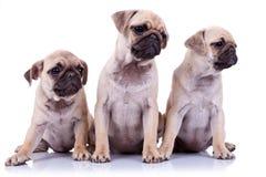 Três cães de filhote de cachorro assentados do pug Foto de Stock Royalty Free