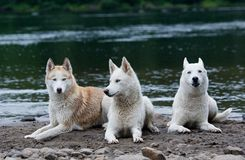 Três cães de puxar trenós Imagens de Stock