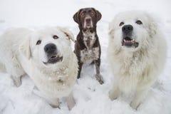 Três cães do puro-sangue sentam-se na neve fotos de stock royalty free