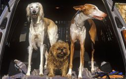 Três cães na parte de trás do carro, Alexandria, Washington, C.C. imagens de stock