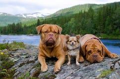 Três cães no banco de rio da montanha, Noruega Fotografia de Stock