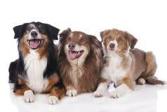 Três cães-pastor australianos Fotografia de Stock