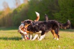 Três cães-pastor australianos que jogam com um brinquedo Fotos de Stock