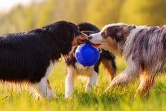 Três cães-pastor australianos que lutam por uma bola Imagens de Stock