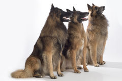 Três cães, pastor belga Tervuren, assento, isolado fotografia de stock