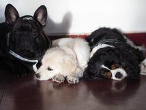 Três cães pequenos estão na frente da porta da rua que espera sua caminhada imagem de stock royalty free