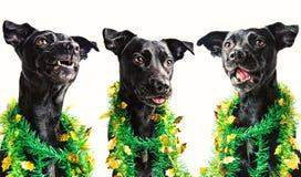 Três cães pretos que cantam canções de natal do Natal imagens de stock royalty free