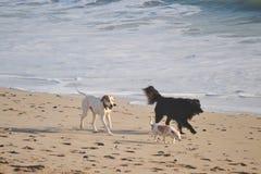 Três cães que correm em uma praia Fotos de Stock