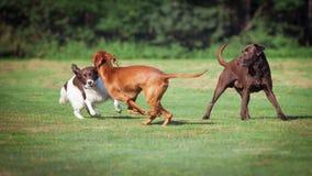 Três cães que jogam em um prado imagem de stock