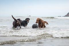 Três cães que jogam na praia imagem de stock