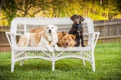 Três cães que levantam na cadeira ao ar livre Fotos de Stock