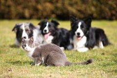 Três cães que olham em um gato Imagens de Stock