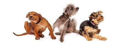 Três cães sarnentos que riscam a bandeira horizontal Fotografia de Stock