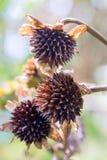 Tr?s cabe?as da semente de girass?is mexicanos foto de stock royalty free
