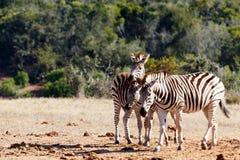 Três cabeças da zebra são melhores de uma Imagens de Stock Royalty Free
