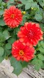 Três cabeças vermelhas da dália do orangey Foto de Stock