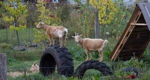Três cabras Imagens de Stock Royalty Free