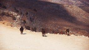 Três cabras Imagens de Stock