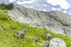 Três cabras alpinas nas rochas, montagem Bianco, montagem Blanc, cumes, Itália Fotografia de Stock